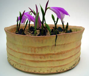 Pleione. Pinch/coiled ironstone.
